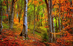 Picture autumn, forest, trees, forest, Nature, falling leaves, trees, autumn, leaves, woods, fall