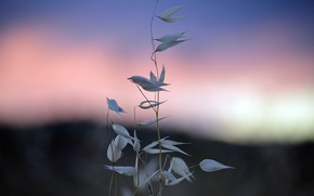 Picture the sky, grass, morning, spikelets, grass, dawn