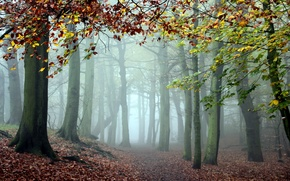 Wallpaper forest, trees, nature, fog