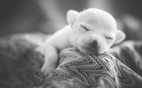 Picture sleep, puppy, dog, Sweet Dreams