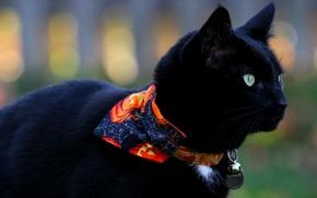 Picture cat, cat, black, Koshak