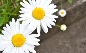 Picture white, flowers, background, Wallpaper, chamomile, blur, petals, Daisy, wallpaper, flowers, widescreen, flowers, background, full screen, ...