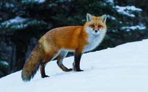 Picture Fox, Fox, snow, red, winter