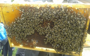 Picture honey, yellow, flight, insect, bee, more, many, bees, wax, vcela
