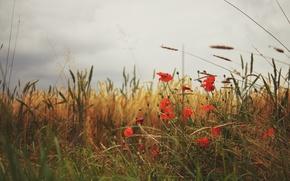 Picture grass, Maki, petals, red