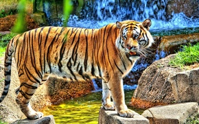 Picture tiger, stones, waterfall, is, looks