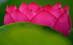 Picture flower, paint, petals, Lotus