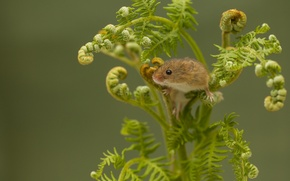 Picture mouse, fern, Harvest Mouse, The mouse is tiny