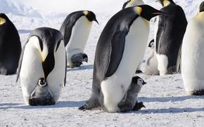 Picture penguins, Antarctica, Imperial