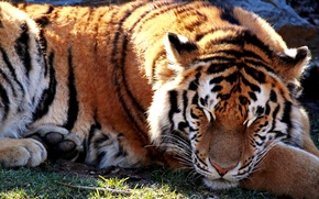 Picture light, tiger, beast, sun., sleep