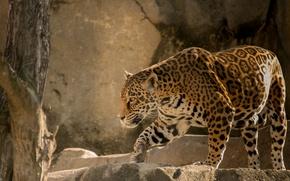 Picture cat, predator, Jaguar