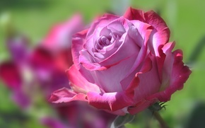 Picture flower, rose, petals, Bud