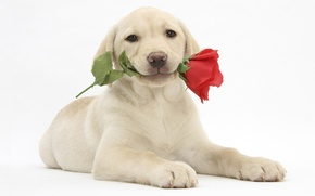 Picture flower, rose, puppy, Labrador Retriever, labrador retriever