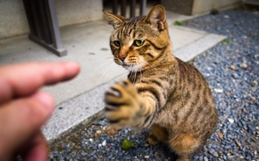 Picture cat, look, paw, claws, Kote