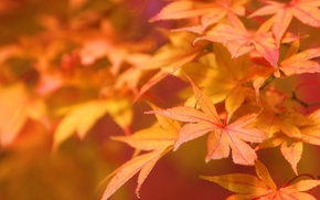 Wallpaper autumn, leaves, macro, nature