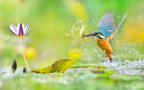 Picture greens, flower, leaves, water, macro, squirt, glare, bird, fish, photographer, Taiwan, bokeh, mining, Kingfisher, colorful, ...