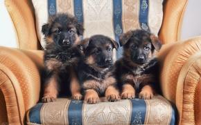 Picture chair, puppies, trio, German shepherd
