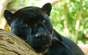 Picture look, tree, predator, Panther, lies, Jaguar, watching, Panthera onca