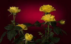 Picture drops, red, background, roses, yellow