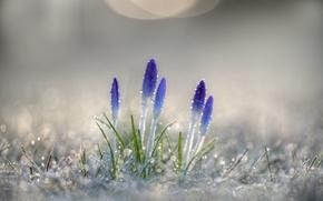 Picture macro, flowers, Rosa, spring, crocuses, primroses