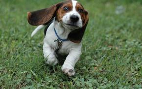 Picture Grass, puppy, run.