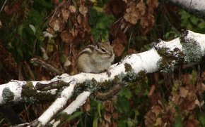 Picture branch, birch, Chipmunk