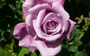 Picture leaves, rose, lilac