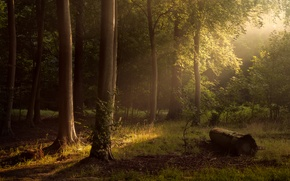 Picture forest, the sun, trees, Return