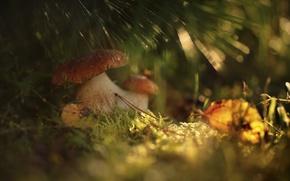 Picture autumn, forest, grass, macro, light, mushrooms, bokeh