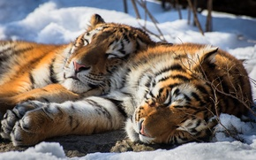 Picture tiger, snow, animal, siberian