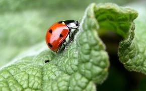Picture macro, leaf, ladybug