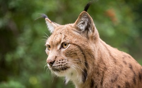 Picture cat, face, lynx