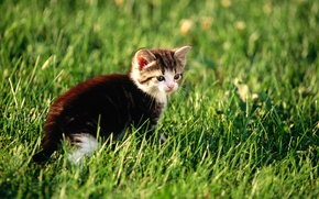 Picture cat, grass, cat, kitty, pussy, kitty, cat, Kote