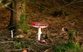 Picture FOREST, RED, MACRO, MOSS, TREES, HAT, AUTUMN, FOLIAGE, MUSHROOMS