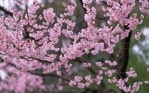 Picture trees, flowers, nature, spring, petals, Sakura, pink