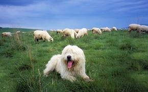 Picture sheep, dog, pasture, Sheepdog, the Polish lowland Sheepdog