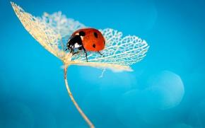 Wallpaper ladybug, insect, ladybird, hydrangea
