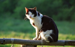 Picture cat, summer, the fence, village, sitting