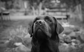 Picture Peter, black and white, Labrador