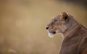 Picture portrait, lioness, wild cat