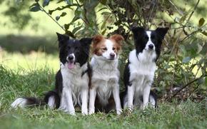 Wallpaper dog, puppy, the border collie