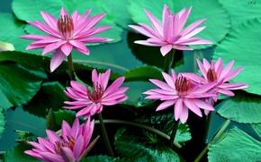 Picture leaves, water, flowers, flowering, water lilies