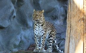 Picture look, predator, leopard, amur leopard, spotted cat