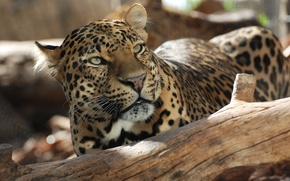 Picture look, stay, Leopard, snag, spots of sunlight