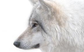Picture face, predator, Wolf
