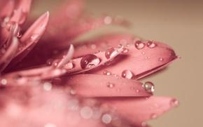 Picture flower, drops, macro, nature, Rosa, petals, blur, water, flower, nature, bokeh, gerbera, flower, gerbera, wallpaper., …