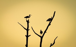 Picture birds, branches, tree, silhouette