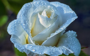 Picture water, drops, Rosa, rose, petals