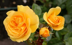 Picture Roses, buds, yellow, yellow, roses