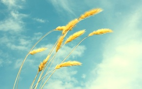 Picture wheat, summer, the sky, clouds, ease, spikelets